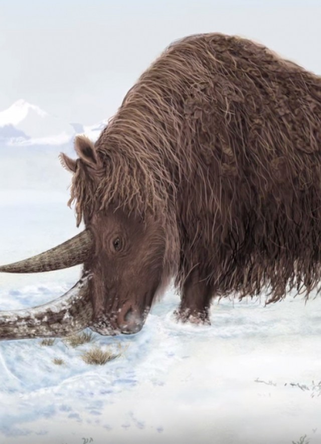 Woolly Rhino in the snow