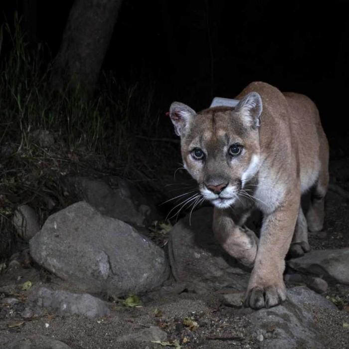 image of puma in the dark