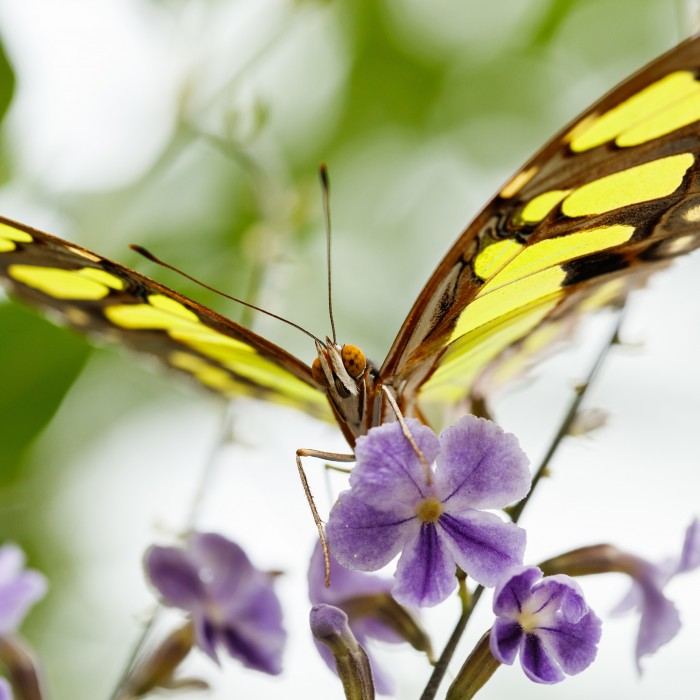 Yellow and black malachite butterfly resting on purple flower
