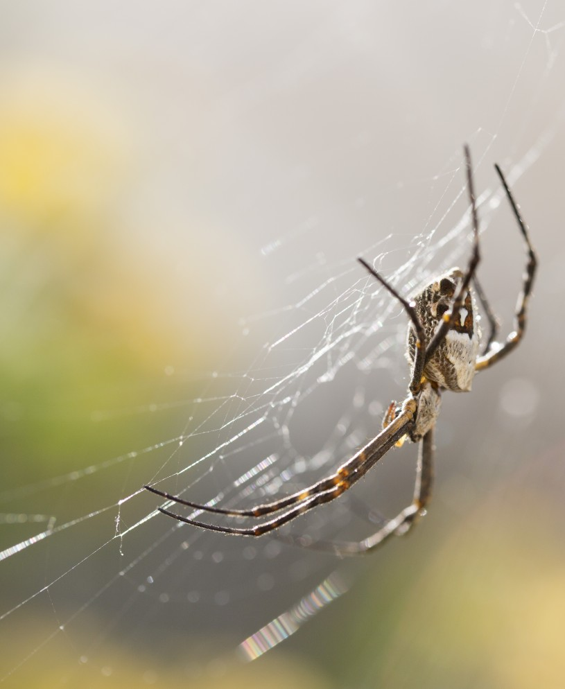 A close-up photograph of a silverback spider on its web