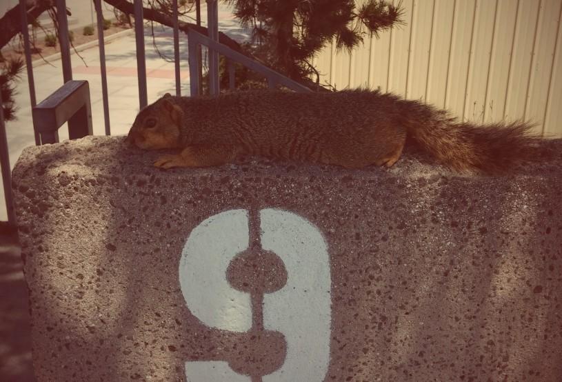 Fox squirrel heating dumping at El Camino College.