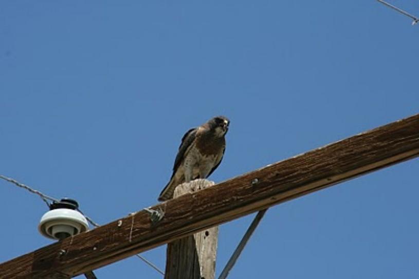 Sora, bird, birding, alive, telephone