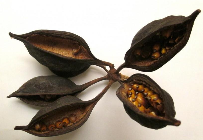 australian, pods, seeds, native LA