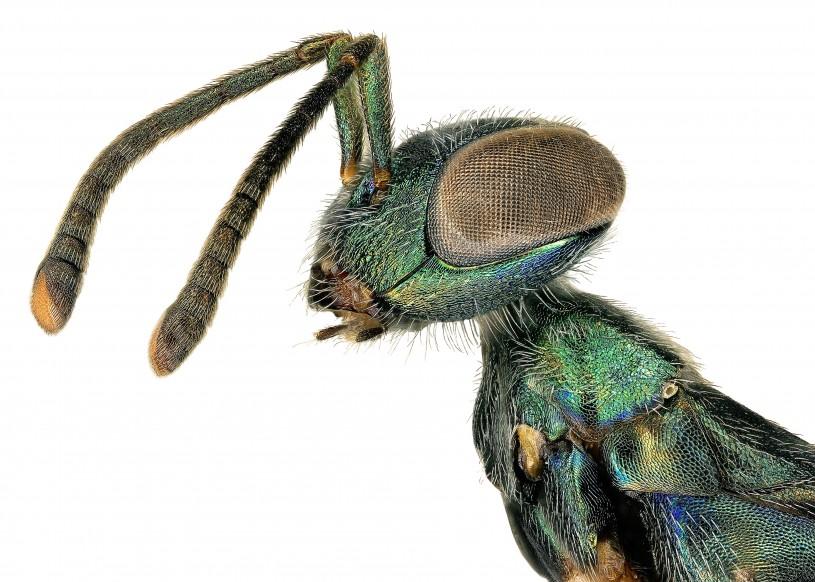 Close up of Green Wasp