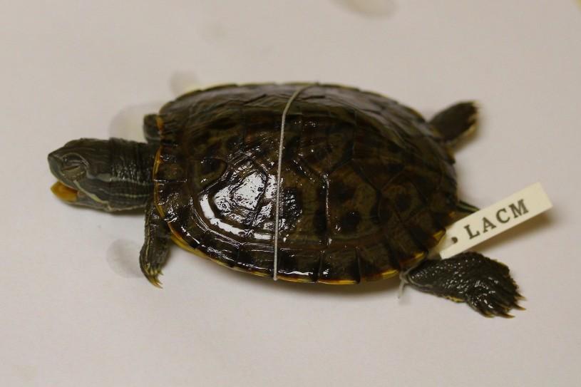 Red-eared slider turtle specimen
